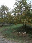 Sonbaharda_Çınarlar12