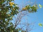 Sonbaharda_Limonlar