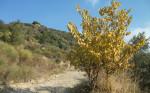 Sonbaharda_Sarı_Ağaç
