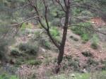 Sonbaharda_Tek_Çam1